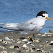 Fairy tern. Adult resting on mudflats. Waipu Wildlife Refuge, October 2019. Image © Scott Brooks (ourspot) by Scott Brooks