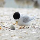 Fairy tern. Adult. Waipu estuary, Northland, October 2012. Image © Thomas Musson by Thomas Musson tomandelaine@xtra.co.nz