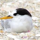 Fairy tern. Adult in late summer plumage. Waipu estuary, Northland, January 2013. Image © Thomas Musson by Thomas Musson tomandelaine@xtra.co.nz