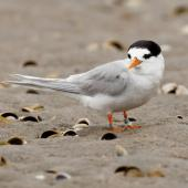 Fairy tern. Adult. Waipu estuary, Northland, December 2010. Image © Malcolm Pullman by Malcolm Pullman
