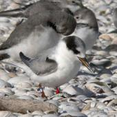 Fairy tern. First winter (4 months after banding). Miranda, May 2005. Image © Phil Battley by Phil Battley