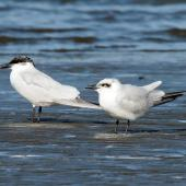 Gull-billed tern. Two birds with contrasting plumage. Foxton Beach, July 2012. Image © Duncan Watson by Duncan Watson