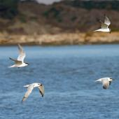 Gull-billed tern. Four birds in flight. Foxton Beach, August 2012. Image © Duncan Watson by Duncan Watson