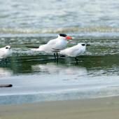 Gull-billed tern. Three adults in nonbreeding plumage (with Caspian tern). Manawatu River estuary, September 2011. Image © Alex Scott by Alex Scott