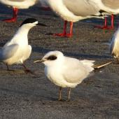 Gull-billed tern. Juvenile with white-fronted terns and red-billed gulls. Waikanae River estuary, Wellington, July 2011. Image © Alan Tennyson by Alan Tennyson