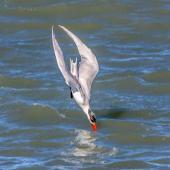 Caspian tern. Non-breeding adult diving. Wairau Bar,  Marlborough, August 2020. Image © Derek Templeton by Derek Templeton take.aim.kiwi@gmail.com