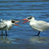 Caspian tern. Adult with fledgling. Manawatu River estuary, February 2008. Image © Alex Scott by Alex Scott