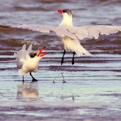 Caspian tern. Two non-breeding adults having an altercation. Manawatu River estuary, April 2013. Image © Alex Scott by Alex Scott