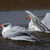 Caspian tern. Bathing. Otago Peninsula, March 2006. Image © Craig McKenzie by Craig McKenzie