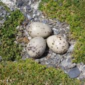Caspian tern. Eggs on stony nest site. Onoke Spit, Palliser Bay, December 2006. Image © Ian Armitage by Ian Armitage