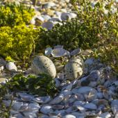 Caspian tern. Nest with two eggs. Awarua Bay, January 2015. Image © Glenda Rees by Glenda Rees https://www.flickr.com/photos/nzsamphotofanatic/