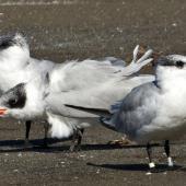 Caspian tern. Three non-breeding adults (one banded in 1996 in Nelson). Pakawau Beach,  Golden Bay, March 2014. Image © Rebecca Bowater by Rebecca Bowater FPSNZ AFIAP www.floraandfauna.co.nz