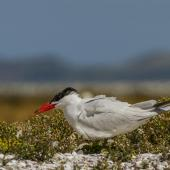Caspian tern. Adult at nest with chick partially hidden. Awarua Bay, January 2015. Image © Glenda Rees by Glenda Rees https://www.flickr.com/photos/nzsamphotofanatic/