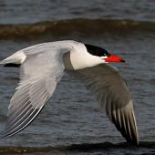 Caspian tern. Adult in breeding plumage. Wanganui, August 2007. Image © Ormond Torr by Ormond Torr