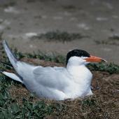 Caspian tern. Adult on nest. Grays Spit, Lake Ellesmere. Image © Department of Conservation (image ref: 10043126) by Peter Morrison, Department of Conservation Courtesy of Department of Conservation