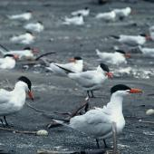 Caspian tern. Breeding colony. Waikato River mouth, December 1974. Image © Department of Conservation (image ref: 10041861) by Dick Veitch, Department of Conservation Courtesy of Department of Conservation