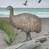Stout-legged moa. Image 2006-0010-1/24 from the series 'Extinct birds of New Zealand'. Masterton. Image © Purchased 2006. © Te Papa by Paul Martinson See Te Papa website: http://collections.tepapa.govt.nz/objectdetails.aspx?irn=710923&term=Stout-legged+moa