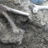 Stout-legged moa. Leg in situ, partly excavated (tarsometatarsus 18cm long). East of White Rock, Wairarapa, October 2010. Image © Alan Tennyson by Alan Tennyson