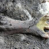 Stout-legged moa. Tarsometatarsus (21 cm long) ventral view, in situ being excavated. Tora Coast, Wairarapa, September 2012. Image © Alan Tennyson by Alan Tennyson