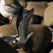 White-winged black tern. Non-breeding bird with wings raised, with white-fronted terns and a red-billed gull. Nelson Boulder Bank, December 2015. Image © Craig Martin by Craig Martin