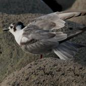 White-winged black tern. Non-breeding bird. Nelson Boulder Bank, December 2015. Image © Craig Martin by Craig Martin