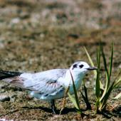 White-winged black tern. Immature. Manawatu River estuary, February 1999. Image © Alex Scott by Alex Scott