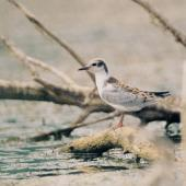 Whiskered tern. Fledged juvenile. Debrecen, August 2014. Image © Tamas Zeke by Tamas Zeke