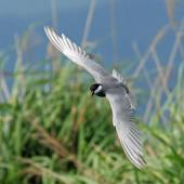 Whiskered tern. Adult in breeding plumage, in flight (dorsal). Wundi, Taiwan, May 2009. Image © Nigel Voaden by Nigel Voaden http://www.flickr.com/photos/nvoaden/