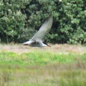 Whiskered tern. Adult in breeding plumage hawking over ponds. Puketutu Canal, Mangere, Auckland, October 2017. Image © Scott Brooks (ourspot) by Scott Brooks