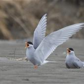 Black-fronted tern. Adult pair in breeding plumage, one bird with wings raised in display. Ashley estuary,  Canterbury, September 2012. Image © Steve Attwood by Steve Attwood http://stevex2.wordpress.com/