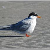 Black-fronted tern. Adult moulting into breeding plumage. Waikanae Beach lagoon, May 2014. Image © Roger Smith by Roger Smith