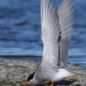 Black-fronted tern. Adult in breeding plumage, stretching wings. Ashley estuary,  Canterbury, May 2014. Image © Steve Attwood by Steve Attwood http://www.flickr.com/photos/stevex2/