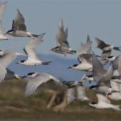 Black-fronted tern. Black-fronted and white-fronted tern mixed flock in flight. Ashley estuary,  Canterbury, May 2014. Image © Steve Attwood by Steve Attwood http://www.flickr.com/photos/stevex2/