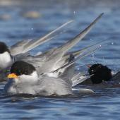 Black-fronted tern. Adults in breeding plumage bathing. Ashley estuary,  Canterbury, May 2014. Image © Steve Attwood by Steve Attwood  http://www.flickr.com/photos/stevex2/