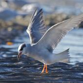 Black-fronted tern. Sub-adult coming in to land. Ashley Estuary Canterbury, May 2014. Image © Steve Attwood by Steve Attwood  http://www.flickr.com/photos/stevex2/