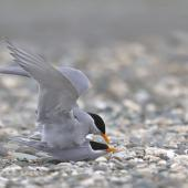 Black-fronted tern. Copulating pair. Mataura River, Eastern Southland, October 2012. Image © Glenda Rees by Glenda Rees http://www.flickr.com/photos/nzsamphotofanatic/