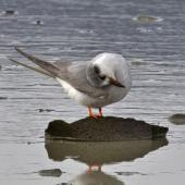 Black-fronted tern. Immature preening. Nelson sewage ponds, July 2015. Image © Rebecca Bowater by Rebecca Bowater FPSNZ AFIAP www.floraandfauna.co.nz