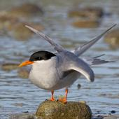 Black-fronted tern. Adult stretching wings. Boulder Bank,  Nelson, July 2016. Image © Rebecca Bowater by Rebecca Bowater FPSNZ AFIAP www.floraandfauna.co.nz