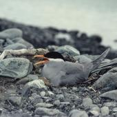 Black-fronted tern. Adult on nest. Cass River, McKenzie basin, November 1982. Image © Department of Conservation (image ref: 10045106) by Rod Morris, Department of Conservation Courtesy of Department of Conservation