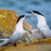 White-fronted tern. Adult pair courtship-feeding with common smelt. Riverton, Aparima River mouth, August 2017. Image © Anja Köhler by Anja Köhler