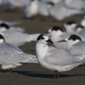 White-fronted tern. Large roosting flock mixed ages. Ashley estuary,  Canterbury, May 2014. Image © steve Attwood by Steve Attwood  http://www.flickr.com/photos/stevex2/
