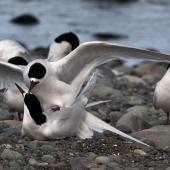 White-fronted tern. Adults mating. Wairau Bar,  Marlborough, September 2014. Image © Rebecca Bowater by Rebecca Bowater FPSNZ AFIAP www.floraandfauna.co.nz