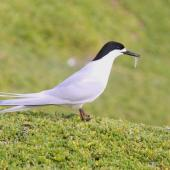 White-fronted tern. Adult with a small fish. Coast south of Waitangi,  Chatham Island, September 2012. Image © Mark Fraser by Mark Fraser