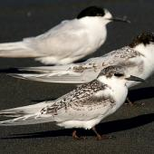 White-fronted tern. Immature. Wanganui, March 2008. Image © Ormond Torr by Ormond Torr