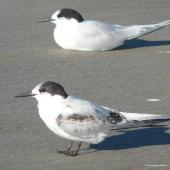 White-fronted tern. Immature with adult in non-breeding plumage behind. Waikanae River estuary, April 2010. Image © Alan Tennyson by Alan Tennyson