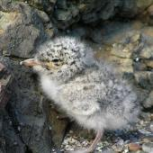 White-fronted tern. Chick. Tiritiri Matangi Island, January 2006. Image © Josie Galbraith by Josie Galbraith