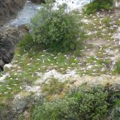 White-fronted tern. Aerial view of nesting colony. Tiritiri Matangi Island, December 2007. Image © Josie Galbraith by Josie Galbraith