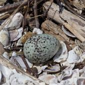 White-fronted tern. Nest and egg. Boulder Bank,  Nelson, December 2011. Image © Rebecca Bowater FPSNZ by Rebecca Bowater  FPSNZ Courtesy of Rebecca Bowater FPSNZwww.floraandfauna.co.nz