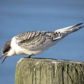 White-fronted tern. Juvenile. Ruawai, January 2013. Image © Thomas Musson by Thomas Musson tomandelaine@xtra.co.nz