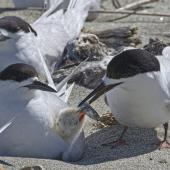 White-fronted tern. Adults feeding chick. Motueka Sandspit, December 2016. Image © Rebecca Bowater by Rebecca Bowater FPSNZ AFIAP www.floraandfauna.co.nz
